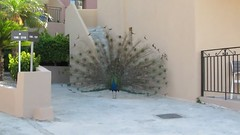 Close encounter of the avian kind (pefkosmad) Tags: vacation holiday bird george video display pheasant feathers hellas peacock greece greekislands pefkos rhodes dodecanese pefki pefkoi finashotel