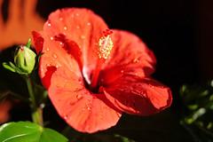 (noidcanuse2011) Tags: flower plant red m43 gf2 lumixg20f17