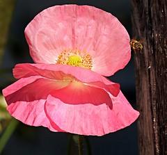 poppy with flying bee (sabrina. G) Tags: pink juni licht rosa makro sonne bienegarten mohnblumr
