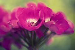 Couleurs de vie (Sylvain Dorais) Tags: flower nature fleurs rouge nikon couleur granium exterieur nikond7000