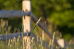 Split Rail HFF (LanaScape Photos) Tags: light fence morninglight grasses hff fencefriday