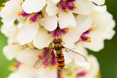 20150717_Madingley_Hall_Gardens-8.jpg (Simon Bradshaw) Tags: macro animals places subject hoverfly madingleyhall