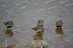 Four Dunlin. (artanglerPD) Tags: red four leg estuary ring left dunlin newburgh
