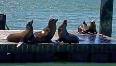 Sea Lions (krys.mcmeekin) Tags: sony wharf sealions water sanfranciscobay
