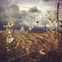 Beauty in Chaos (M a r i k o) Tags: flowers summer field barley mobile clouds square moody chaos cloudy sommer feld squareformat mariko atmospheric kamille iphone camomile gerste mobilephotography iphonephotography alayer iphoneography picfx hipstamatic phototoaster iphone6s