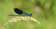 Damselfly (male) (Lorraine1234) Tags: nature netherlands damselfly macro beekjuffer