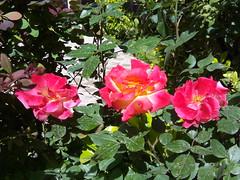 roses (Sasha India) Tags: iran irn esfahan isfahan monarjonban                          sallananminare  rose flower
