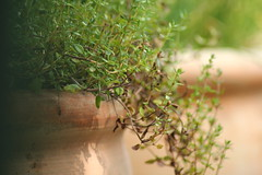 Summer essence (Nathalie_Dsire) Tags: herb herbs summer sun sunlight daylight plant essence plants essences fragrance fragrances smell scent scents aroma aromatic thyme terracotta terrace terracottapot spice spices