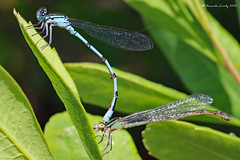 Maine 2016 LSL - Damselfly (36) (maerlyn8) Tags: june 2016 canon 100mm macro maine littlesebagolake sebagolake damselfly damselflies insect bug wings mating