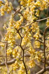 wollerton yellows (photoart33) Tags: flowers yellow shrub