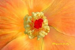 Una mirada en corto/A look at short (Altagracia Aristy) Tags: amrica hibiscus hibisco tropic caribbean antilles laromana cayena caribe repblicadominicana carabe trpico antillas quisqueya altagraciaaristy fujifilmfinepixhs10 fujihs10 fujifinepixhs10 dominicanrepubolic