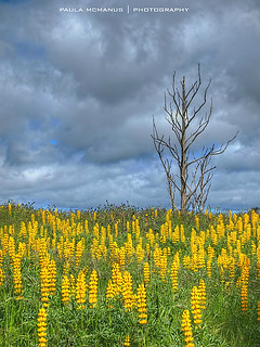 Lupins and a lone tree