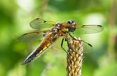 Four-spotted chaser (Libellula quadrimaculata) Fyrfläckad trollslända (grynetvalp) Tags: dragonfly sweden 100v10f chaser libellula fourspotted trollslända supershot quadrimaculata theunforgettablepictures fyrfläckad allnaturesparadise