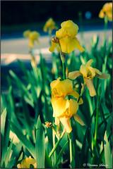Yellow Orchids (ChristianRock) Tags: 50mm pentax canna 50mmf14 rikenon 50f14 ricoh50mmf14 kmount rikenon50mmf14 k20d pentaxk20d rikenonxr50mmf14