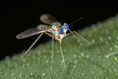 ROY G BIV eyes 2 HFDF (affectatio) Tags: macro bug insect fly rainbow eyes flies longleggedfly metz mpe65 mecablitz 15ms1