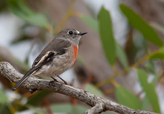 scarlet robin (Petroica boodang)-3621 (rawshorty) Tags: birds australia canberra act gudgenbyvalley rawshorty
