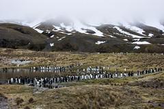 Walking to the beach of Fortuna Bay (sylweczka) Tags: snow ski expedition animals penguin glacier adventure shackleton touring skitouring kingpenguin sylweczka southgerogia