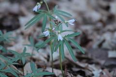 IMG_5138-1 Toothwort (John Pohl2011) Tags: plant flower canon john blossom bloom wildflower 100400mm pohl t4i 100400mmlens canont4i