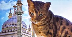 Surveying my Kingdom! (derena_d.) Tags: portrait cat canon photography brighton rocky kingdom whiskers bengal surveying bengalcat catswhiskers canoneos60d catsdomain derenaakers