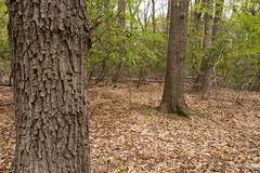 Anglų lietuvių žodynas. Žodis chestnut oak reiškia kaštonas, ąžuolas lietuviškai.