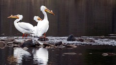 American White Pelican, Fond Du Lac MN, 04/28/15 (TonyM1956) Tags: tonymitchell fondulac stlouiscounty minnesota nature birds pelicans americanwhitepelican sonyphotographing sonyalphadslr sundaylights