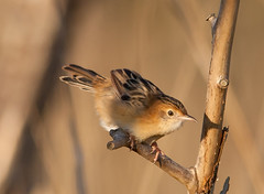 golden-headed cisticola (Cisticola exilis)-5384 (rawshorty) Tags: birds australia canberra act jerrabomberrawetlands rawshorty