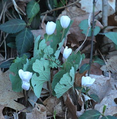 Bloodroot (John Pohl2011) Tags: plant flower canon john blossom bloom wildflower 100400mm pohl t4i 100400mmlens canont4i