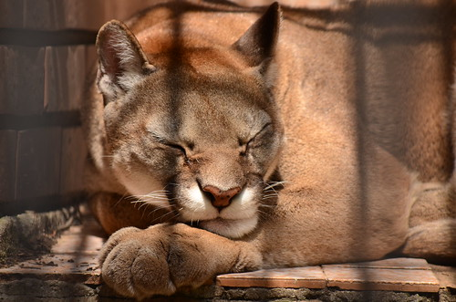 Mountain lion sleeps