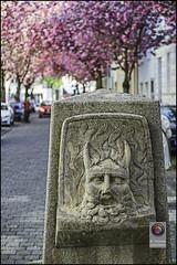 Bonn-Kirschbluete-15 (kurvenalbn) Tags: deutschland bonn pflanzen blumen nordrheinwestfalen frhling kirschbluete