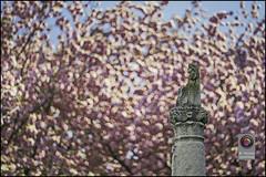 Bonn-Kirschbluete-9 (kurvenalbn) Tags: deutschland bonn pflanzen blumen nordrheinwestfalen frhling kirschbluete