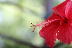 Hibiscus Flower (mira.parikh) Tags: flower macro vibrant hibiscus macrophotography