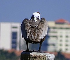 What do you want? (Singer Island Images) Tags: pelican pelicansleeping singerislandimages thomasaccardi