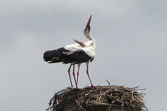 hvid stork-23 (S. Nysteen) Tags: spain extremadura whitestork ciconiaciconia hvidstork saucedilla
