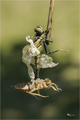 Orthetrum cancellatum (Emilio Rico Uhia) Tags: insectos macro macros cameraraw libelulas cs6 orthetrumcancellatun car122014
