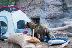 grizbearpicn01817ez (Reid Park Zoo) Tags: bear arizona picnic tucson may grizzly campsite grizzlybear 2015 reidparkzoo bearpicnic grizzlybearpicnic