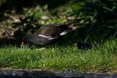 Arrived on the pond yesterday (Kay Musk) Tags: uk wild nature wildlife essex moorhen nikond3200 gallinulachloropus