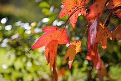Autumn bokeh (ImagesByLin) Tags: autumn tree fall leaves backlight canon colours dof bokeh depthoffield foliage deciduous autumntree
