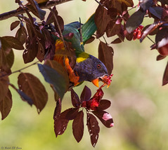 Enjoying the flowering plum (Ralph Green) Tags: bird birds lorikeet australia melbourne victoria rainbowlorikeet floweringplum trichoglossushaematodus