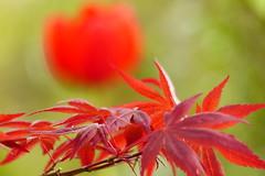 RED (evisdotter) Tags: red flower macro leaves bokeh tulip blomma tulpan löv sooc