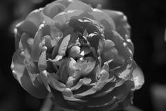 Tulip Fest (21 of 26) (evan.chakroff) Tags: flowers festival washington spring unitedstates tulips tulip april mountvernon tulipfestival mtvernon roozengaarde 2016