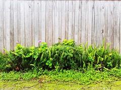 Green plants on wooden fence - Galaxy S7 (Jonno Cass) Tags: plants green wet rain garden moss flickr phone samsung australia galaxy s7 gully ferntree fliter