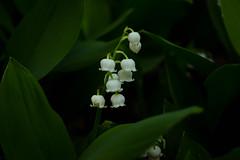 White Bells of Garden (cutthroatsrule) Tags: flowers white green garden bell vandusen