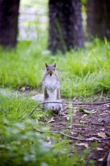 Posing Squirrel (Litratistica Images NYC) Tags: camera city nyc newyorkcity usa newyork tree green nature animal squirrel prospectpark streetphotography chick streetphotographer canon70200 canoneos5d earldolphy litratisticaimages cherrydolphy