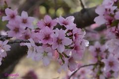 PRUNUS NIPPONICA KURILENSIS (hmeyvalian) Tags: canada jardinbotanique montrealbotanicalgarden giardinobotanico montrealqubec prunusnipponica cerisierdeskouriles kirilcherry