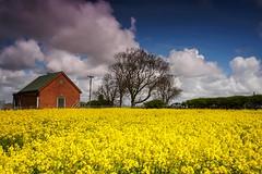 Fields of sunshine (Elysian-Photography) Tags: uk summer england field sunshine clouds landscape outdoors bluesky lancashire oil rapeseed ormskirk northwestengland lonelyhouse