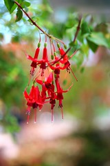 - /Fuchsia hybrida 'Mefhisto' (nobuflickr) Tags:  awesomeblossoms  20160422dsc07848  fuchsiahybridamefhisto