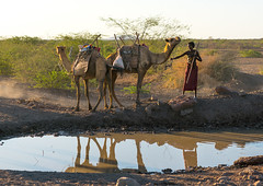 Afar tribe herder with his camels along a waterhole, Afar region, Afambo, Ethiopia (Eric Lafforgue) Tags: africa color tree dusty water animal horizontal river mammal outdoors photography cow african dry tribal camel nomad agriculture ethiopia dust tribe waterhole domesticanimals arid oneperson ethnicity domesticated hornofafrica occupation nomadic eastafrica thiopien herder etiopia abyssinia ethiopie etiopa greatriftvalley ruralscene herbivorous fulllenght  workinganimal danakil etiopija 1people ethiopi indigenousculture  etiopien etipia afarregion  etiyopya  nomadicpeople   afambo       afardepression ethio162444