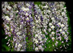 Blauregen (karin_b1966) Tags: plant nature garden natur blossoms pflanze climber garten wisteria blten blauregen 2016 kletterer yourbestoftoday