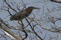 Green Heron 6/12/16.. (turtlehawk) Tags: birds wildlife bethanybeach bluecoast ospre