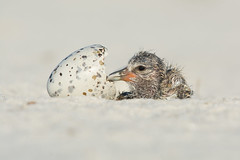 """""""Hatched"""" (American Oystercatcher) (Jesse_in_CT) Tags: americanoystercatcher nikon200500mm"""